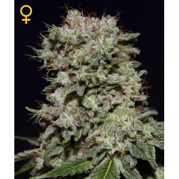 http://grubylolek.pl/772-thickbox_atch/nasiona-marihuany-kalashnikova.jpg