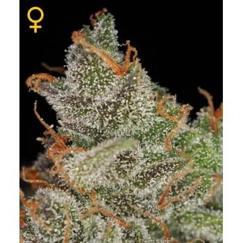 http://grubylolek.pl/774-thickbox_atch/nasiona-marihuany-king-s-kush.jpg