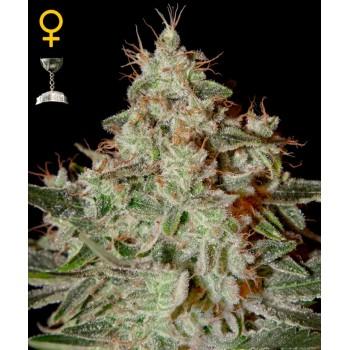 http://grubylolek.pl/780-thickbox_atch/nasiona-marihuany-lemon-skunk.jpg