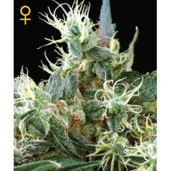 http://grubylolek.pl/782-thickbox_atch/nasiona-marihuany-nl-automatic.jpg