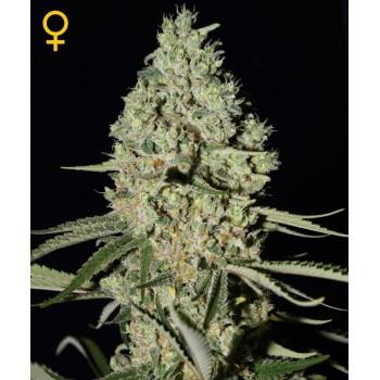 http://grubylolek.pl/788-thickbox_atch/nasiona-marihuany-super-critical.jpg