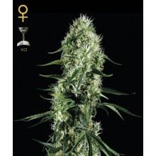 nasiona marihuany Super Silver Haze