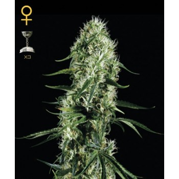 http://grubylolek.pl/79-thickbox_atch/nasiona-marihuany-super-silver-haze.jpg