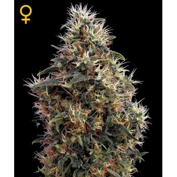 http://grubylolek.pl/792-thickbox_atch/nasiona-marihuany-sweet-mango-automatic.jpg