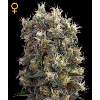 http://grubylolek.pl/794-thickbox_atch/nasiona-marihuany-the-church.jpg