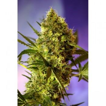 http://grubylolek.pl/806-thickbox_atch/nasiona-marihuany-big-devil-2.jpg