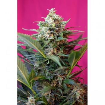 http://grubylolek.pl/808-thickbox_atch/nasiona-marihuany-big-devil-xl.jpg