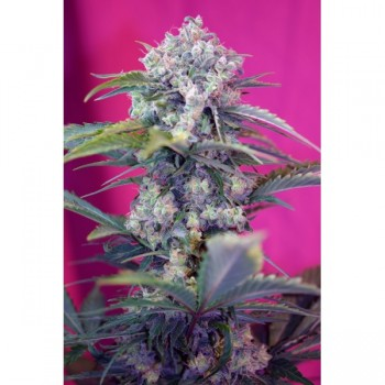 http://grubylolek.pl/810-thickbox_atch/nasiona-marihuany-cream-mandarine.jpg