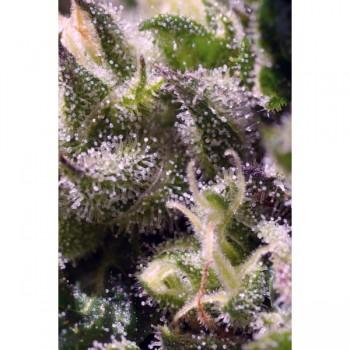http://grubylolek.pl/812-thickbox_atch/nasiona-marihuany-cream-caramel.jpg