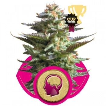 http://grubylolek.pl/822-thickbox_atch/nasiona-marihuany-amnesia-haze.jpg