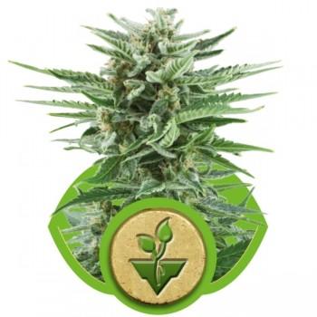 http://grubylolek.pl/840-thickbox_atch/nasiona-marihuany-easy-bud.jpg
