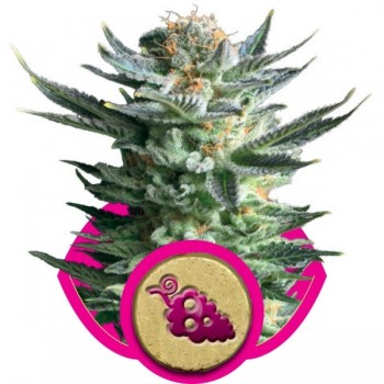 http://grubylolek.pl/846-thickbox_atch/nasiona-marihuany-fruit-spirit.jpg