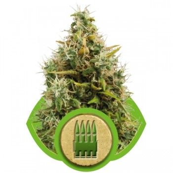 http://grubylolek.pl/870-thickbox_atch/nasiona-marihuany-royal-ak.jpg