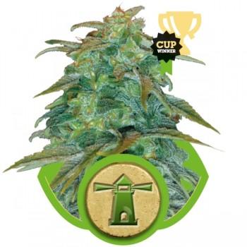 http://grubylolek.pl/884-thickbox_atch/nasiona-marihuany-royal-haze-auto.jpg