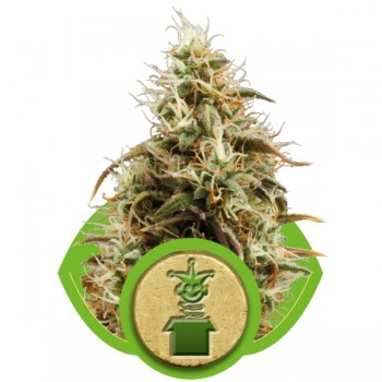 http://grubylolek.pl/890-thickbox_atch/nasiona-marihuany-royal-jack-auto.jpg