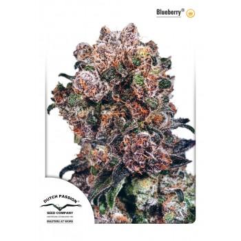 http://grubylolek.pl/892-thickbox_atch/nasiona-marihuany-blueberry.jpg