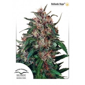 http://grubylolek.pl/924-thickbox_atch/nasiona-marihuany-hollands-hope.jpg