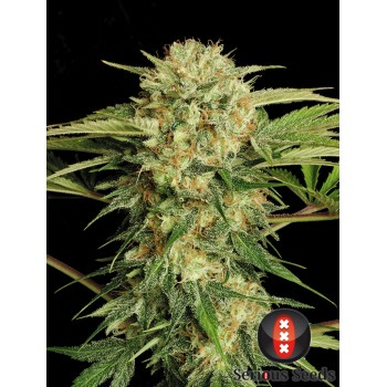 http://grubylolek.pl/984-thickbox_atch/nasiona-marihuany-motavation.jpg