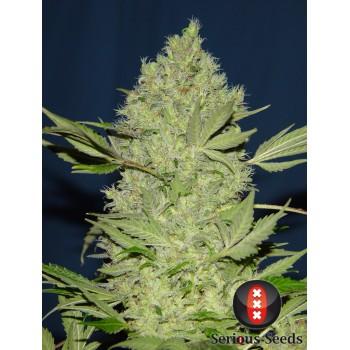 http://grubylolek.pl/992-thickbox_atch/nasiona-marihuany-chronic.jpg