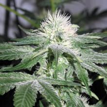 nasiona marihuany Ice