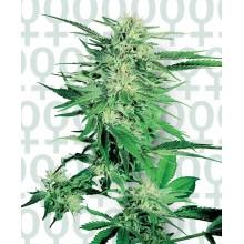 nasiona marihuany Big Bud