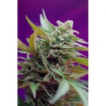 nasiona marihuany Black Jack ® Auto