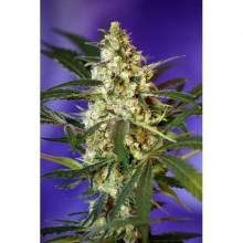 nasiona marihuany Fast Bud 2 ® Auto