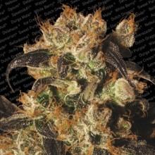 nasiona marihuany White Berry