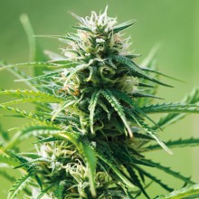 nasiona marihuany Sweet Tooth