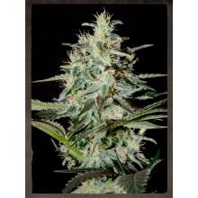 nasiona marihuany White Lemon