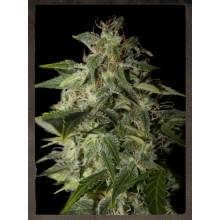 nasiona marihuany Afgooey