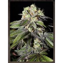 nasiona marihuany Caboose